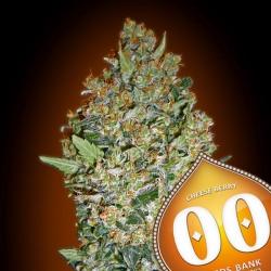 Cheese Berry - Feminizadas - 00 Seeds
