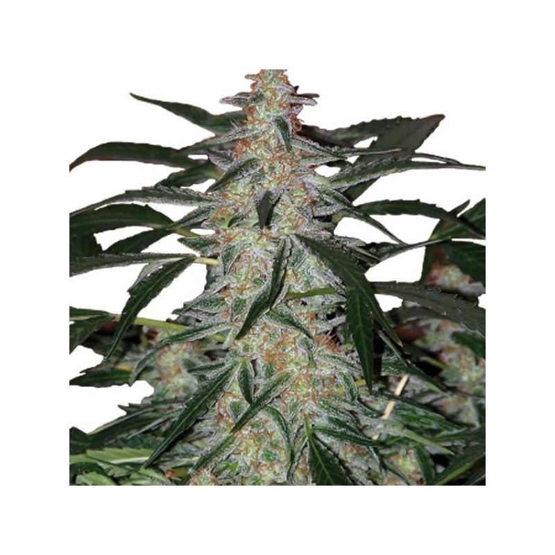 Auto Deimos - Autoflorecientes - Buddha Seeds