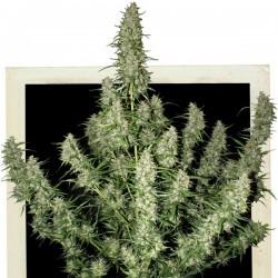 Auto Magnum - Autoflorecientes - Buddha Seeds