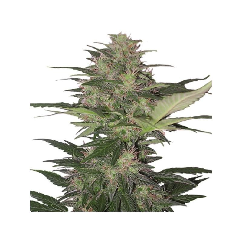 Auto Red Dwarf - Autoflorecientes - Buddha Seeds