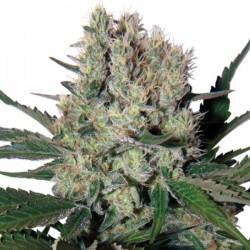 Auto Syrup - Autoflorecientes - Buddha Seeds