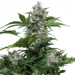 Auto White Dwarf - Autoflorecientes - Buddha Seeds