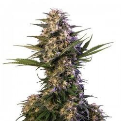 Kraken - Feminizadas - Buddha Seeds