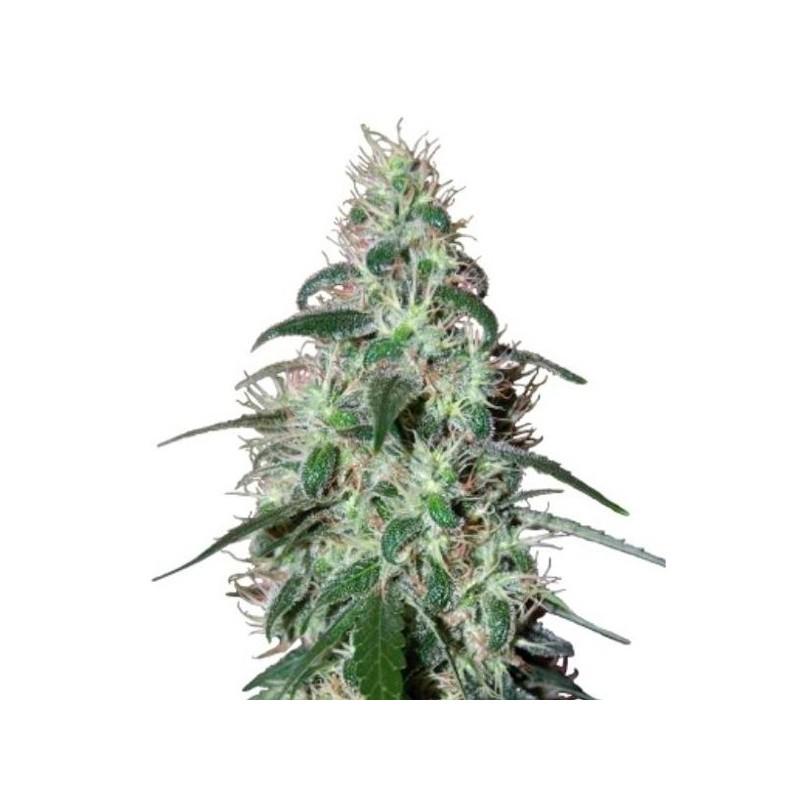 Pulsar - Feminizadas - Buddha Seeds