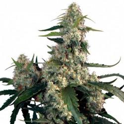 Quasar - Feminizadas - Buddha Seeds