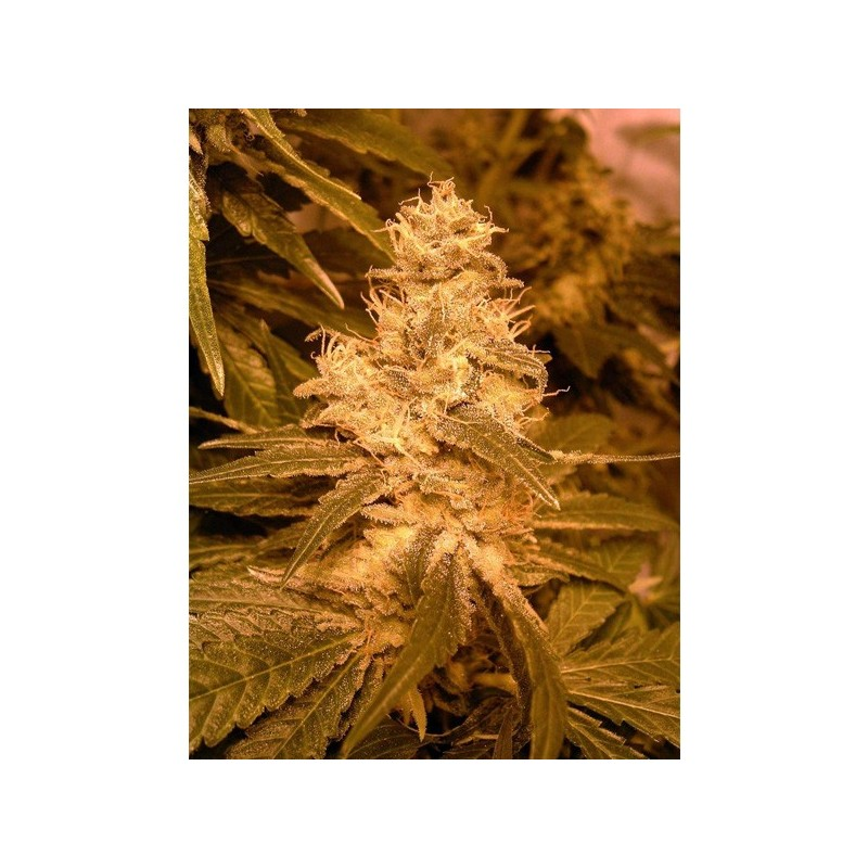 Auto Kush - Autoflorecientes - Female Seeds