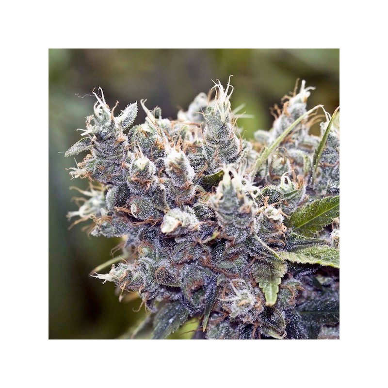 Bubble Gummer - Feminizadas - Female Seeds