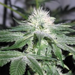 Ice - Feminizadas - Female Seeds