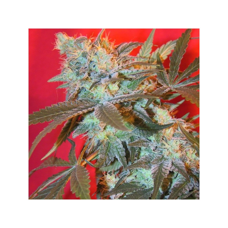 Iced Widow - Feminizadas - Female Seeds