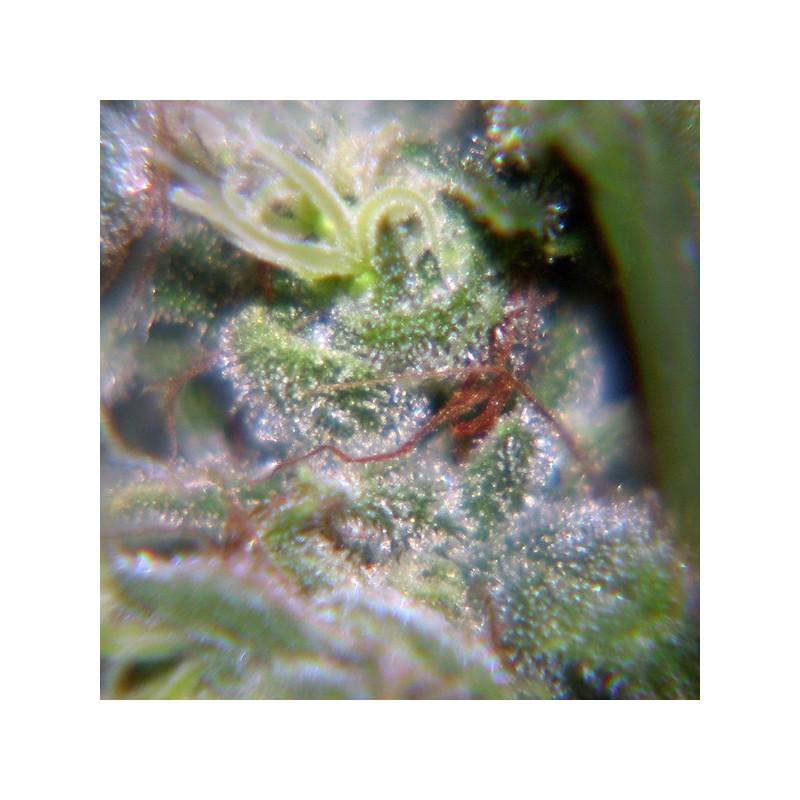 Neville Haze - Feminizadas - Female Seeds