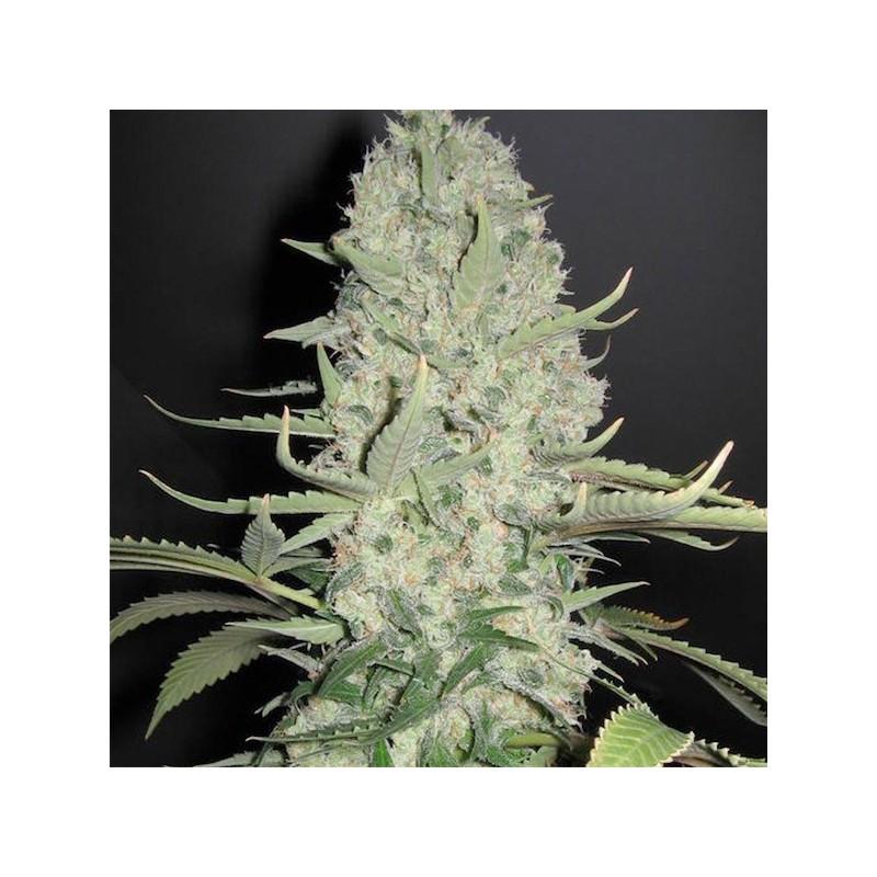 White Widow x Big Bud - Feminizadas - Female Seeds