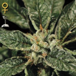 Bubba Kush - Feminizadas - Green House