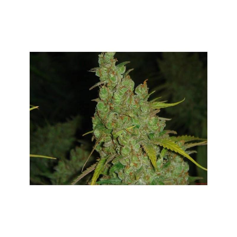 1024 - Feminizadas - Medical Seeds