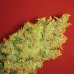 Jack La Mota - Feminizadas - Medical Seeds