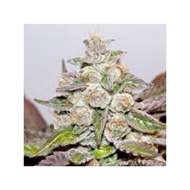 Mendocino Purple Kush - Feminizadas - Medical seeds