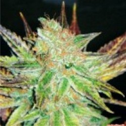 Prozac - Feminizadas - Medical Seeds