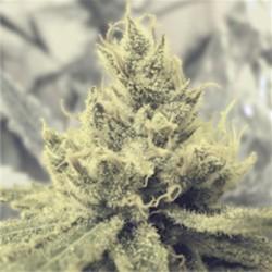 Y Griega - Feminizadas - Medical seeds