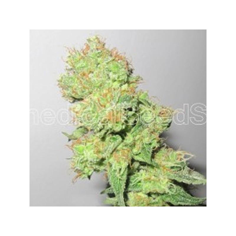 Y Griega CBD - Feminizadas - Medical seeds