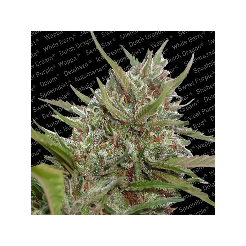 Auto White Berry - Autoflorecientes - Paradise Seeds