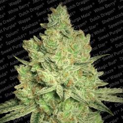 Jacky White - Feminizadas - Paradise Seeds