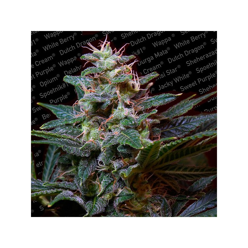 Sweet Purple - Feminizadas - Paradise Seeds