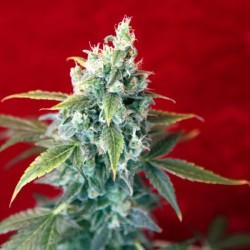 Sra. Amparo - Feminizadas - Reggae Seeds
