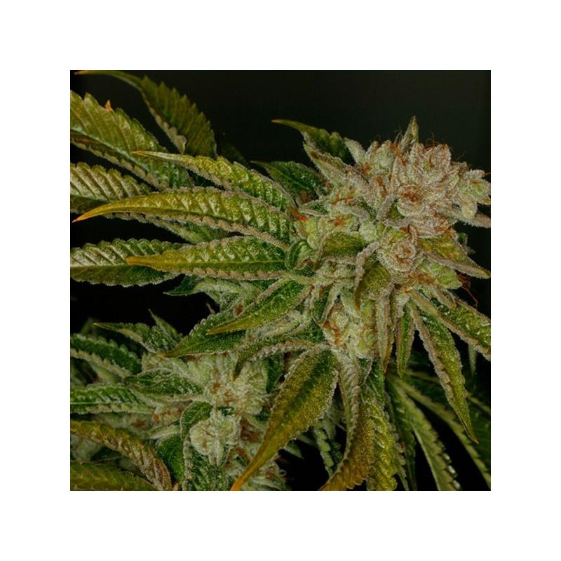 Mk - Ultra - Feminizadas - T.H. Seeds