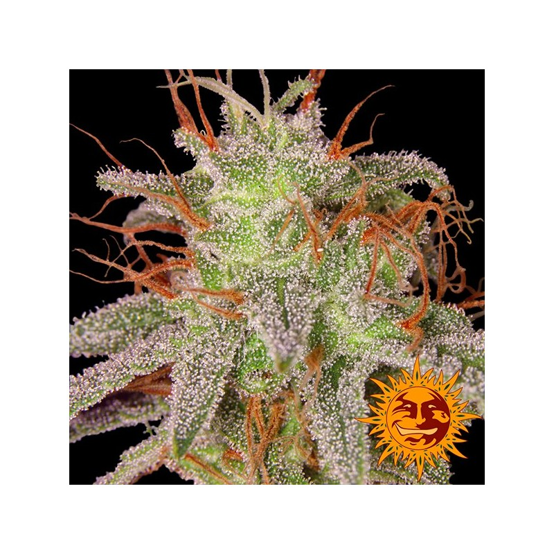 Amnesia Lemon - Feminizadas - Barney's