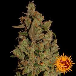 CBD Critical Cure - Feminizadas - Barney's