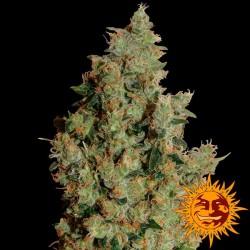 Tangerine Dream - Feminizadas - Barney's