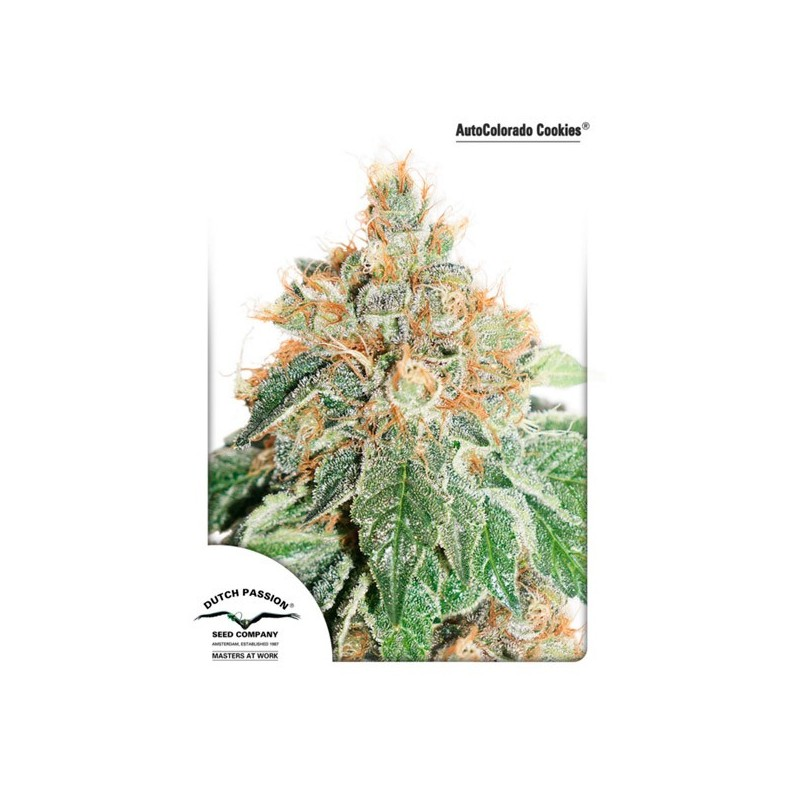 Auto Colorado Cookies - Autoflorecientes - Dutch Passion