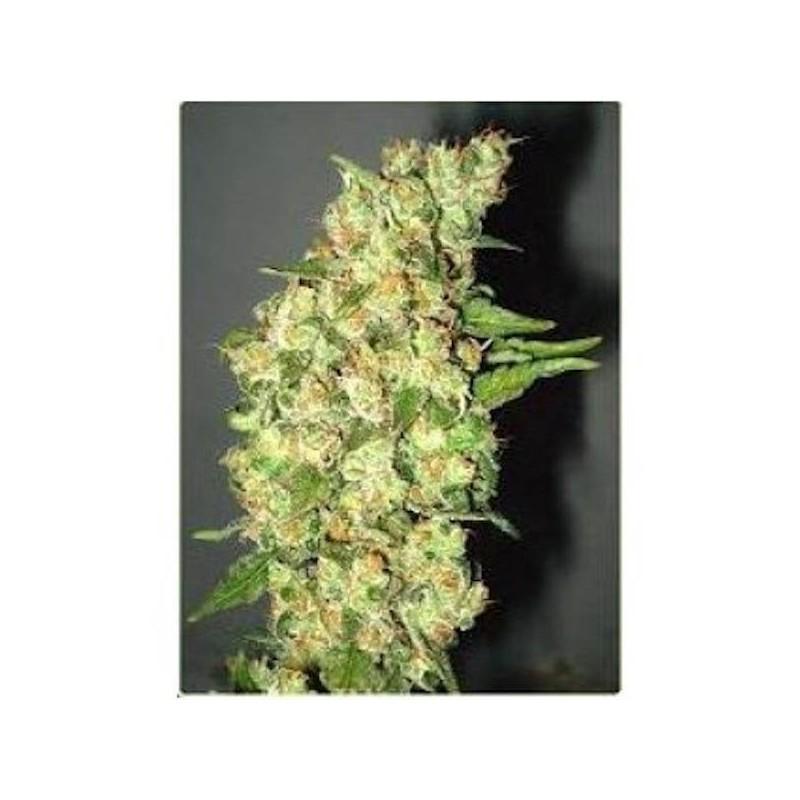 Doble Jack - Feminizadas - Professional Seeds