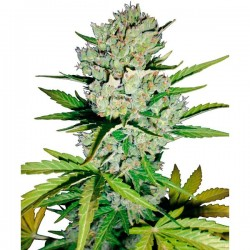 Auto Super Skunk - Autoflorecientes - Sensi Seeds