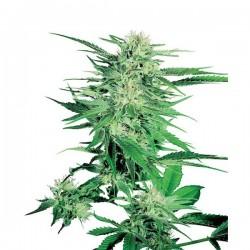 Big Bud - Feminizadas - Sensi Seeds