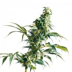 Mexican Sativa - Feminizadas - Sensi Seeds