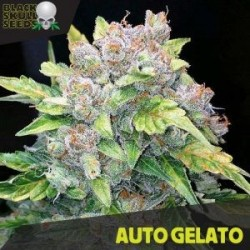 Auto Gelato - Autoflorecientes - Black Skull Seeds