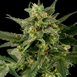 Auto PIneapple Gum - Autoflorecientes - Black Skull Seeds