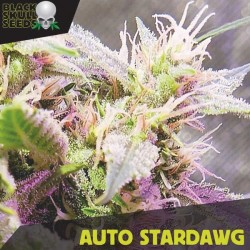 Auto Stardawg - Autoflorecientes - Black Skull Seeds
