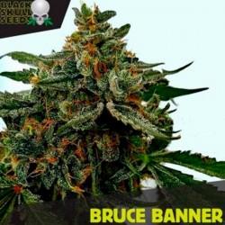 Bruce Banner - Feminizadas - Black Skull Seeds