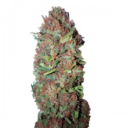 AC DC Cookies CBD+ - Feminizadas - CBD Buds