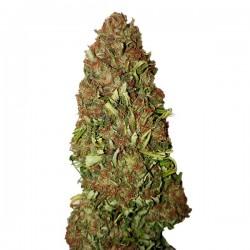 Harlequin CBD+ - Feminizadas - CBD Buds