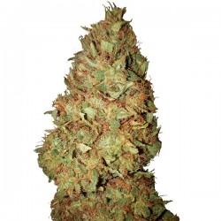 Honey Cookies CBD+ - Feminizadas - CBD Buds