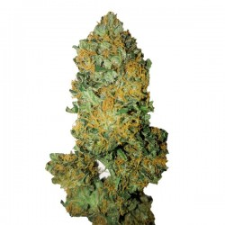 Lemon Diesel CBD+ - Feminizadas - CBD Buds