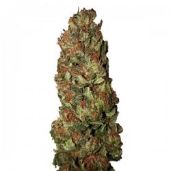 Lemon Pie CBD+ - Feminizadas - CBD Buds