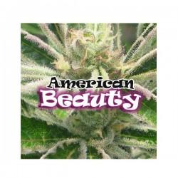 American Beauty - Feminizadas - Dr Underground