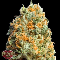 Auto Fully Loaded - Autoflorecientes - Heavyweight Seeds