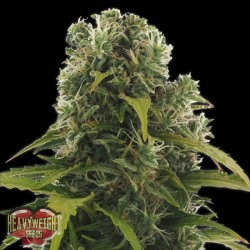Auto High Density - Autoflorecientes - Heavyweight Seeds