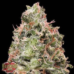 Auto Waist Deep - Autoflorecientes - Heavyweight Seeds