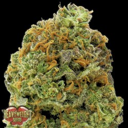 Auto Wipeout Express - Autoflorecientes - Heavyweight Seeds