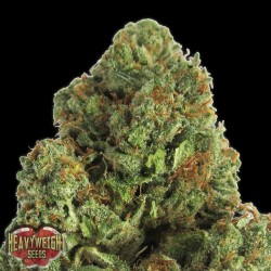 Midnight - Feminizadas - Heavyweight Seeds